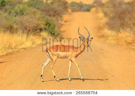 Male Of Impala, Aepyceros Melampus, Cross A Gravel Road In Pilanesberg National Park, Dry Season, So