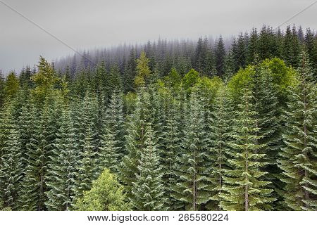 Pine Tree Fir Forest In Morning With Fog On The Tree Tops