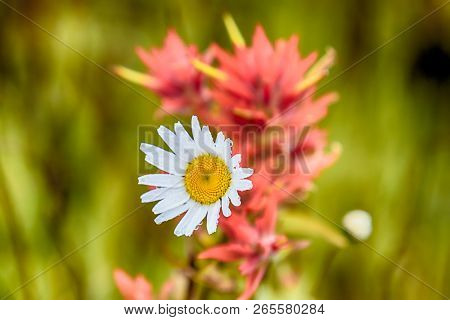 White Spring Daisy With Indian Paintbrush And Green Grass