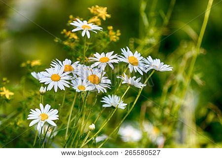 Fresh Spring Daisies Growing In A Lush Green Grassy Field