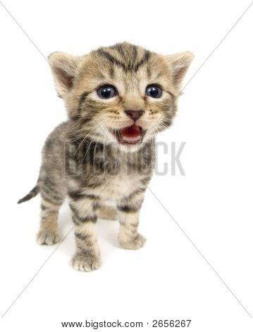 Crying Kitten On White Background