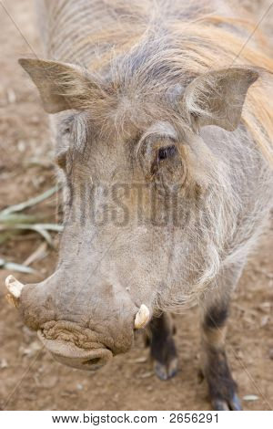 Front view of an warthog in sunset light poster