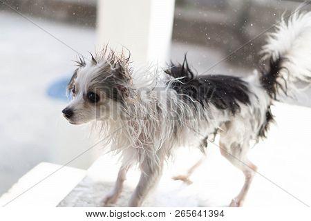 Closeup Pomeranian Dog Flicking Water After Take A Bath With Sun Light Vintange Tone, Selective Focu