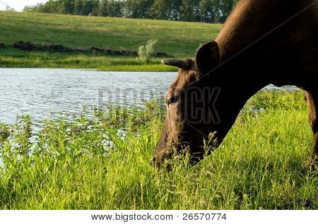 Cows grazing peacefully on fresh farmland, on river bank, on the brink of wood poster
