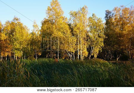 White Birch Trees With Yellow Foliage Stand Behind Tall Green Grass. Autumn, The Foliage Turned Yell