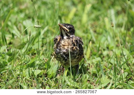 This Image Is A Baby Robbin, A Local Bird Born In The Spring.