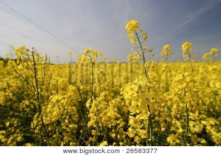 Yellow Rapeseed Flower In Front Of Yellow Crop Field