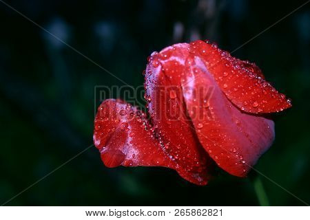 Bright Red Tulip Flower After Spring Rain. Passion Flower. Red Tulip Symbolizes A Strong Disinterest