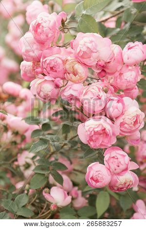 Beautiful Vertical Background With Gentle Pink Roses Blossom In Pastel Colors