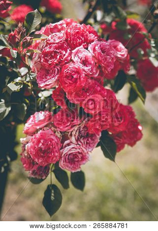 Beautiful Vertical Background With Pink Roses Blossom Branch In Vintage Retro Colors