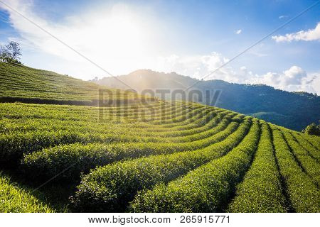 Beautiful Landscape Panorama View Of 101 Tea Plantation In Bright Day On Blue Sky Background , Touri