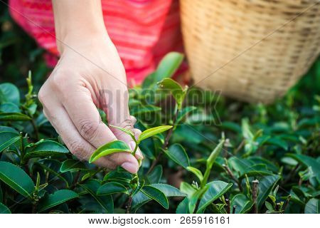 Woman Hands Holding Young Green Tea Leaves On Hill In The Morning With Sunrise Ray, Agricultural Tre