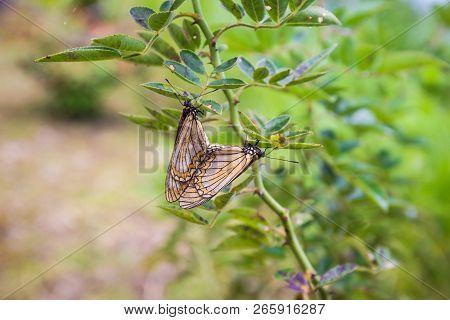 Butterflies Are Breeding On Rose Green Leaves In Garden