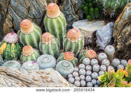 Cactus Many Variants Decorate In The Garden Select And Soft Focus. Cactus Background And Texture Or