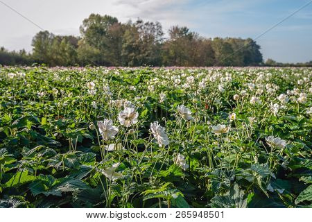 White Flowers And Buds Of Japanese Anemone Or Anemone Hupehensis Plants At A Specialized Nursery Of