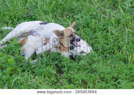 Small Dog Playing With Big Dog In Summer Grass