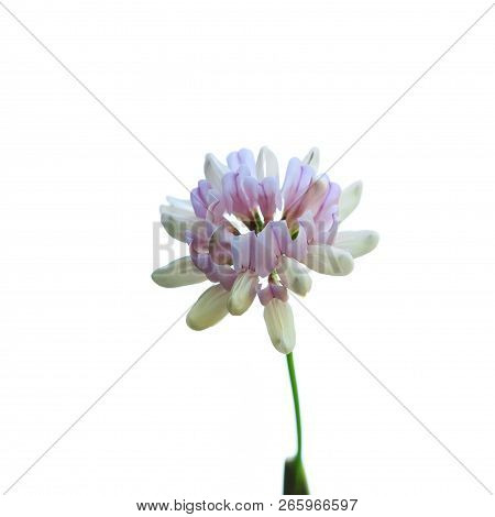 Macro. Spring Bright Beautiful Clover Flower Closeup Isolated On White Background