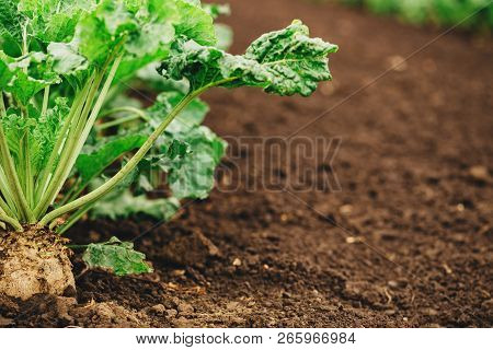 Sugar Beet Root Crop Organically Grown In Cultivated Field