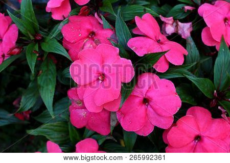 New Guinea Impatiens Or Impatiens Hawkeri Flowering Plant With Large Dark Pink Flowers With Thick Pe