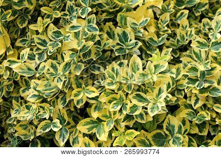 Wintercreeper or Euonymus fortunei or Spindle or Climbing euonymus or Fortunes spindle or Winter creeper evergreen shrub plant with green to yellow elliptic to elliptic-ovate leaves with finely serrated margins background poster