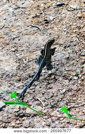 Middle American Ameiva (ameiva Festiva) Shot In Natural Environment (costa Rica, Grandoca-manzanillo