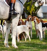 Dogs of the Middleburg Hunt after traditional December parade down main street of Middleburg Virginia snapping at the legs of a horse poster