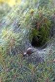 Close up of a venomous funnel web spider leaving its funnel like web nest in an evergreen shrub poster