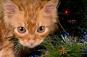Beautiful wet red kitten playing in a Christmas tree poster