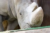 White Rhino taking afternoon snack; close up poster