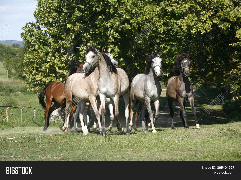 Domestic Arabian Image Photo Free Trial Bigstock