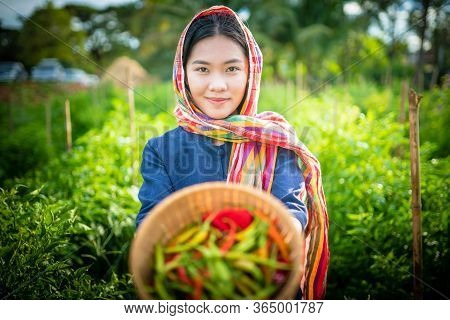 Asian Woman With Traditional Dress Is Harvesting Chilli In The Farm