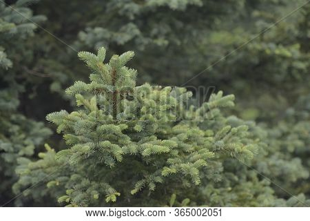 Closeup Of Tender Green Pine Trees In The Forest Of La Pudacuo National Park, Shangri-la, Yunnan