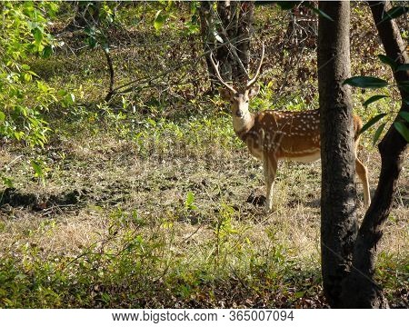 The Chital Or Cheetal, Also Known As Spotted Deer Or Axis Deer At Bandhavgarh National Park, India