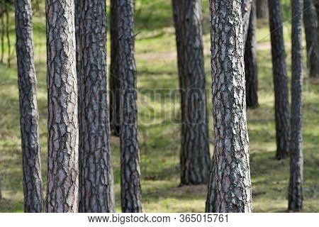 Trunks Of Pine Forest Trees In The Sunlight, Baltic Sea Coast