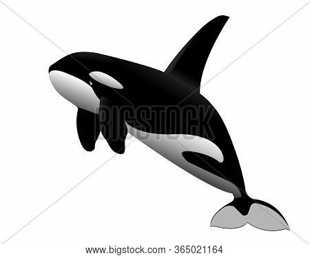 Black & White Young Killer Whale Jumps Out Of The Water, Sea  Mammal Animal, Color Vector Illustrati