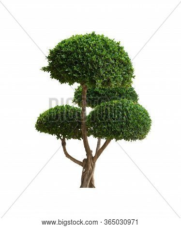 Bonsai Tree Isolated On White Background Is An Ornamental Plant In The Garden