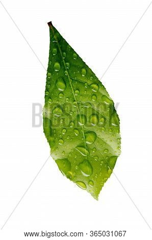 Green Leaf Wet With Raindrops Isolated On White Background, File Contains A Clipping Path.