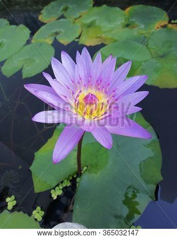 Purple Lotus Flowers Blooming In The Pond