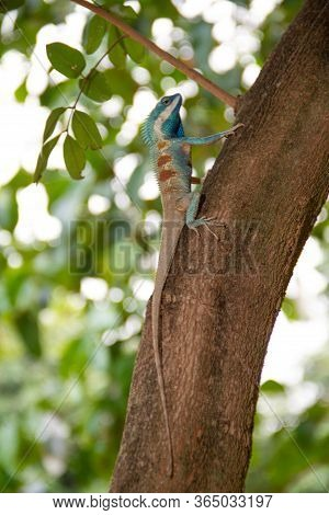 Blue Chameleon, Perched On A Tree With Bokeh On The Back