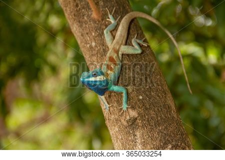 Blue Chameleon, Perched On A Tree In The Forest