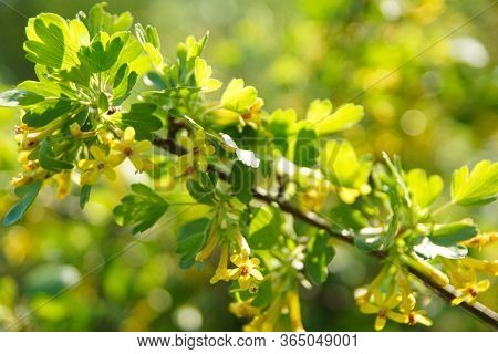 Yellow Flowers Bloomed Profusely On A Green Bush. Soft Focus