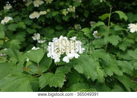 Inflorescence Of White Flowers Of Viburnum Opulus In Mid May