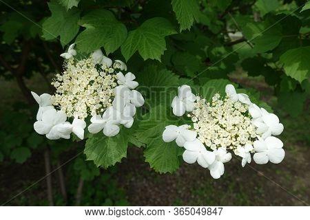 Pair Of Corymbs Of White Flowers Of Viburnum Opulus In Mid May