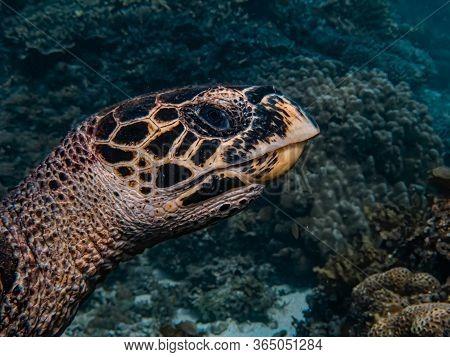 Close Up Head Shot Of A Hawksbill Sea Turtle (eretmochelys Imbricata).