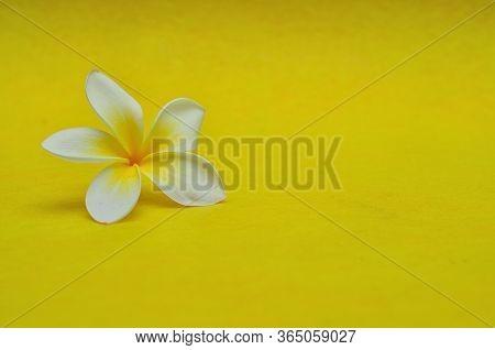 A Single Frangipani Flower On A Yellow Background
