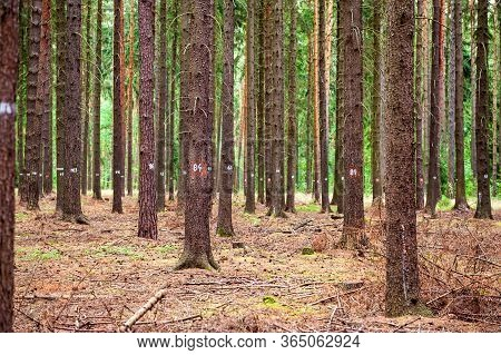 Spruce Tree Forest, Brown Needles On The Ground . Numbers On Coniferous Spruce Trees, Blueberry Bush