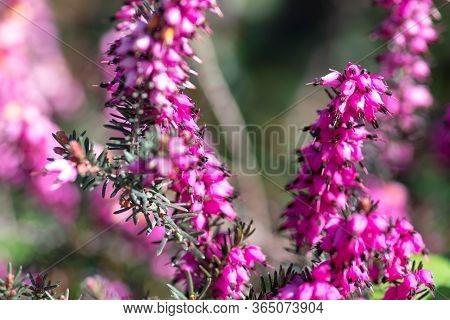 Beautiful Purple Flower, Erica Carnea Flower, Winter-flowering Heather, Spring Or Alpine Heath, Clos