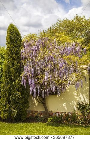 Purple Wisteria Flowers In Spring