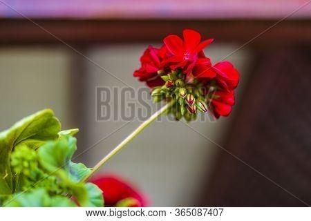 Red Pelargonium In The Garden. Red Geranium Flowers In Summer Garden. Bright Pelargonium