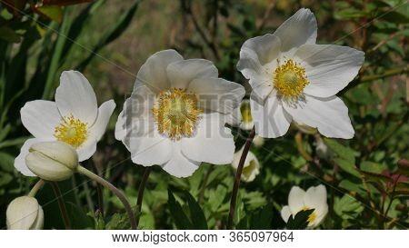 White Anemones Nemorosa. Flowers In The Forest. Wild Anemone, который также имеет название Windflowe